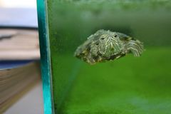 Черепаха в аквариуме Стоковое Изображение