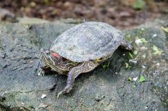 Черепаха в зоопарке Стоковые Фотографии RF