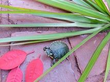 Черепаха в красном цвете Стоковое фото RF