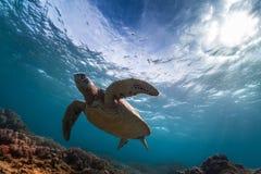 Черепаха в море стоковая фотография rf