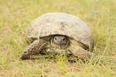 Черепаха в песках пустыни Стоковые Изображения RF