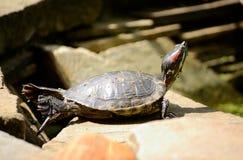 Черепаха в представлении йоги греясь в солнце Стоковые Фото