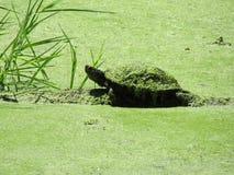 Черепаха в пруде Стоковая Фотография
