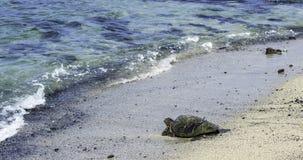 Черепаха в пляже стоковые фотографии rf