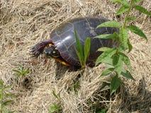 Черепаха в траве стоковое изображение rf