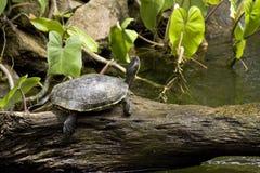 Черепаха в тропической установке Стоковые Фото