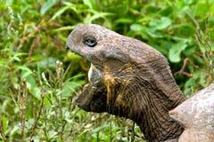 Черепаха Галапагос Стоковая Фотография