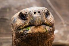 Черепаха Галапагос Стоковая Фотография RF