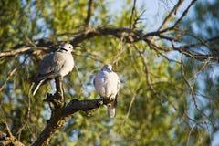 черепаха голубей плащи-накидк Стоковое фото RF