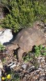 Черепаха горы - передвижной дом Стоковые Изображения RF