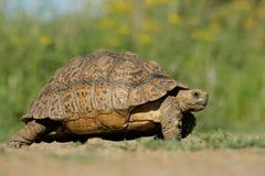 черепаха горы Стоковое Изображение RF