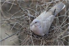 Черепаха-голубь позаботить о ее яичка Стоковое Изображение