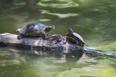 Черепаха грея на солнце на журнале Стоковое фото RF
