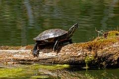 Черепаха грея на солнце на журнале Стоковая Фотография RF