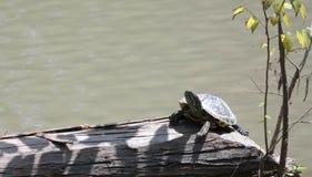 Черепаха грея на солнце Стоковое Изображение