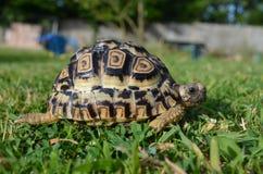 Черепаха леопарда в траве стоковые фотографии rf