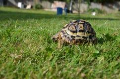 Черепаха леопарда в траве стоковые изображения