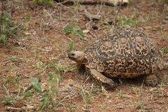 Черепаха леопарда Стоковое Изображение