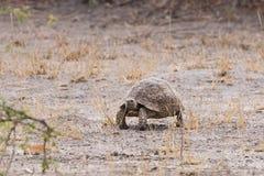 Черепаха леопарда стоковые изображения rf