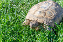 Черепаха десерта на зеленой траве Стоковые Фото