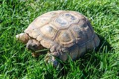Черепаха десерта на зеленой траве Стоковое Изображение