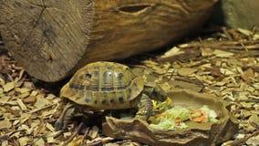 Черепаха есть еду сток-видео