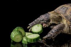 Черепаха есть кучу огурцов Стоковая Фотография