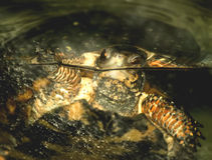 черепаха заплывания коробки Стоковая Фотография