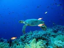 Черепаха зеленого моря Стоковое фото RF