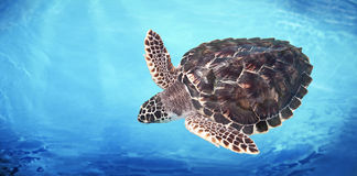 черепаха зеленого моря Стоковое Изображение RF