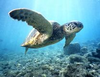 черепаха зеленого моря 2 стоковое фото rf