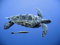 черепаха зеленого моря стоковая фотография