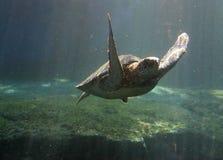 черепаха зеленого моря Стоковое Фото