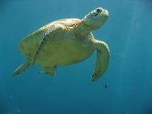 черепаха зеленого моря sipadan подводная Стоковые Изображения RF