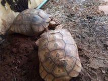 Черепаха земли в Таиланде стоковое фото
