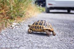 Черепаха земли на дороге стоковые изображения