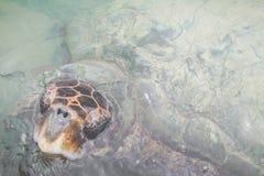 черепаха зеленого моря Колумбия Стоковые Фотографии RF