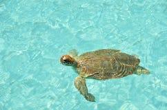 черепаха зеленого моря Стоковое Изображение
