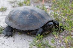 Черепаха идет на том основании стоковые изображения