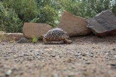 Черепаха идя в одичалое в Южной Африке стоковые изображения