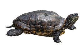Черепаха изолированная на белой предпосылке Вид или черепаха гада стоковое изображение