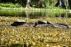 Черепаха и аллигатор смотря на один другого Стоковая Фотография RF