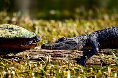 Черепаха и аллигатор смотря на один другого Стоковые Фотографии RF
