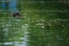 Черепаха и мирная Стоковые Фото