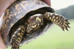 черепаха коробки восточная стоковые фото