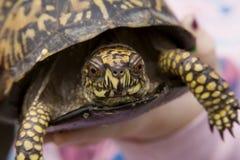 черепаха коробки восточная Стоковое Изображение