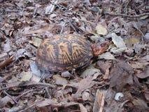 Черепаха коробки в листьях стоковое изображение