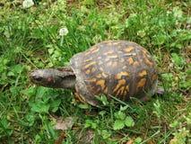 Черепаха коробки в траве, виде на океан, Делавере Стоковые Изображения