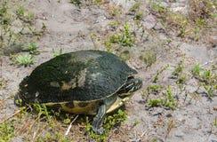 Черепаха коробки в Largo, Флорида Флориды Стоковые Фото