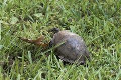 Черепаха коробки идя через траву стоковая фотография
